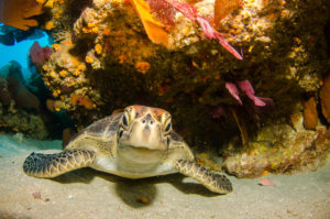 A turtle hides under the rocks and reefs but curiously sticks its head out to ponder about the camera