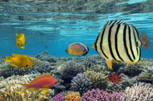 colorful fish swim under the surface of the crystal-clear ocean over the thriving coral reef