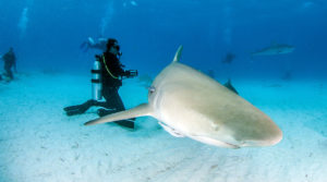 Scuba Diver admires colorful, coral, fish and sharks swimming among them under the surface of the ocean as they feed the nurse sharks, lemon sharks, reef sharks, and tiger sharks