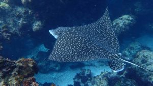 a spotted eagle ray or stingray gently swimming along the bottom of the sandy ocean floor gliding over coral rocks and boulders